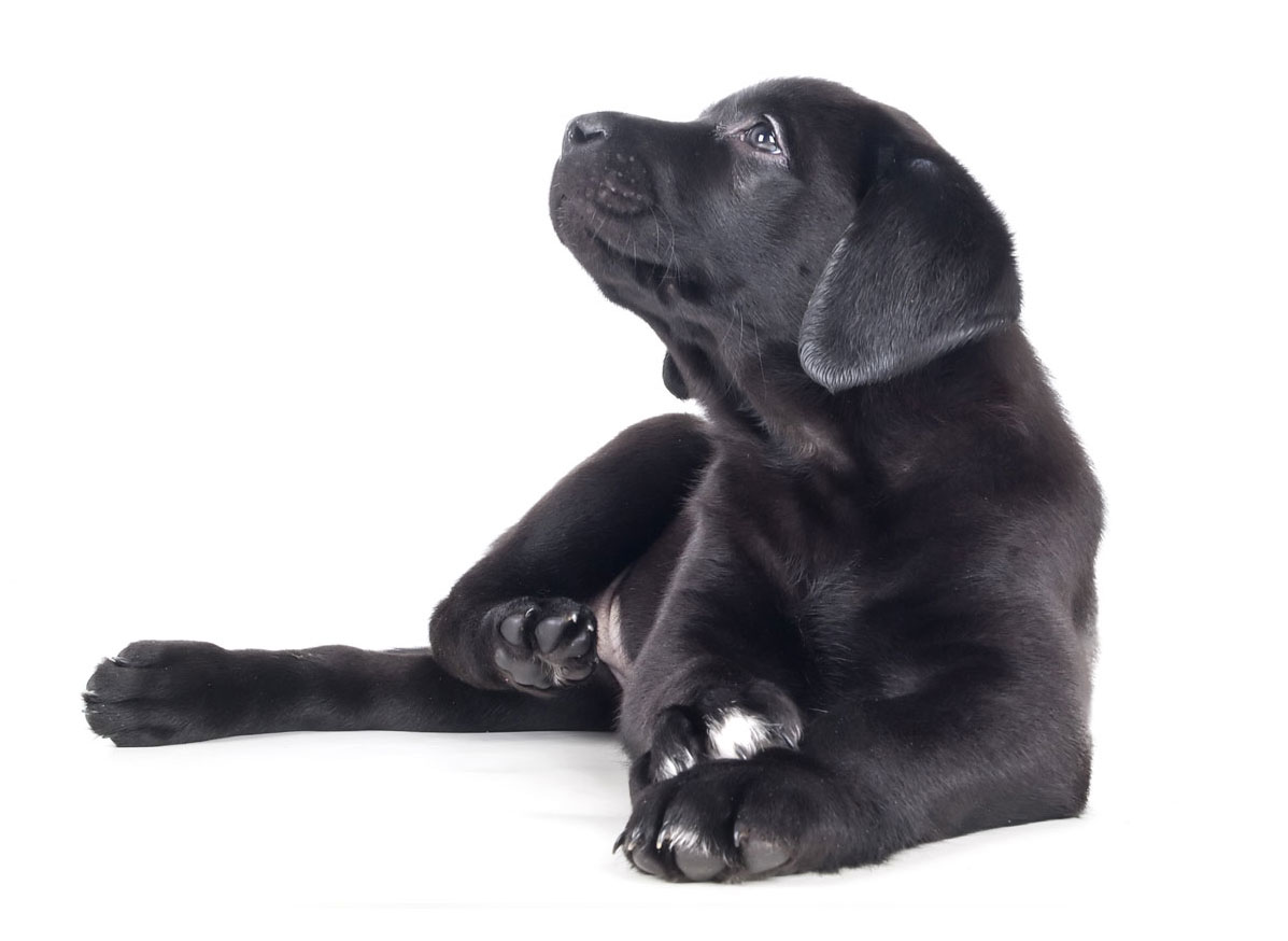 Labrador Retriever puppy finder