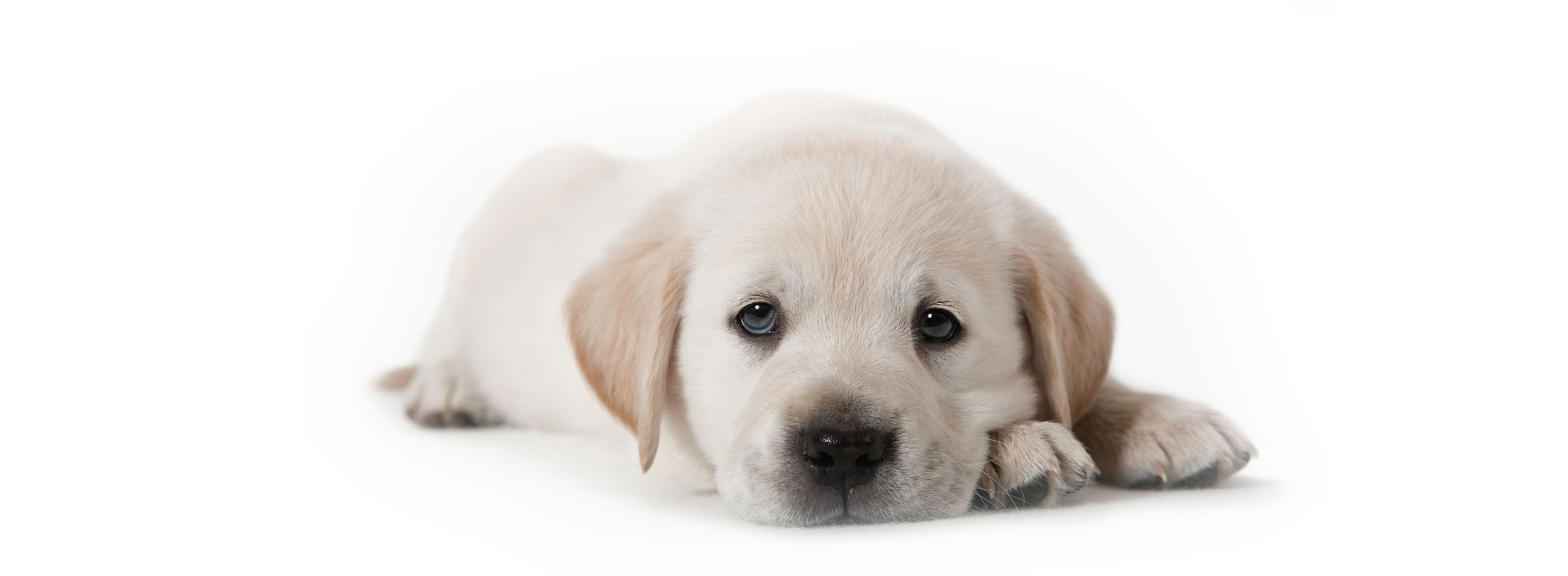 Labrador puppy finder
