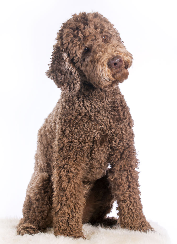 Uptown Puppy Labradoodle