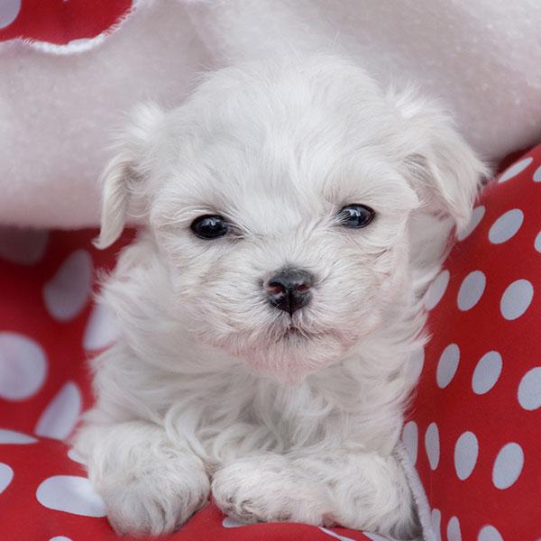 Uptown Puppies Maltese Breeder