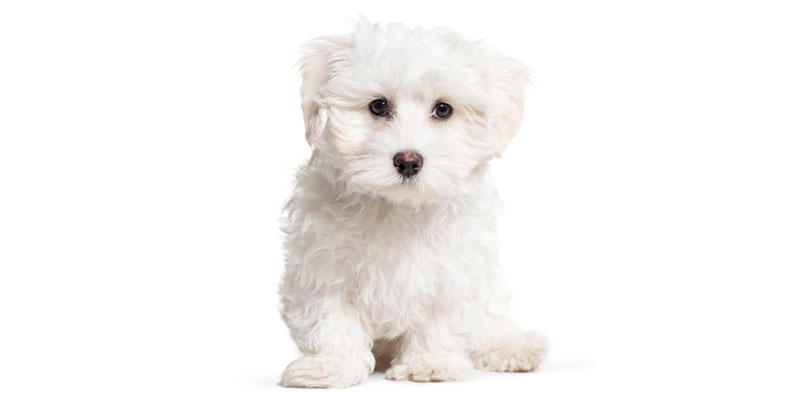 Maltese puppies for sales