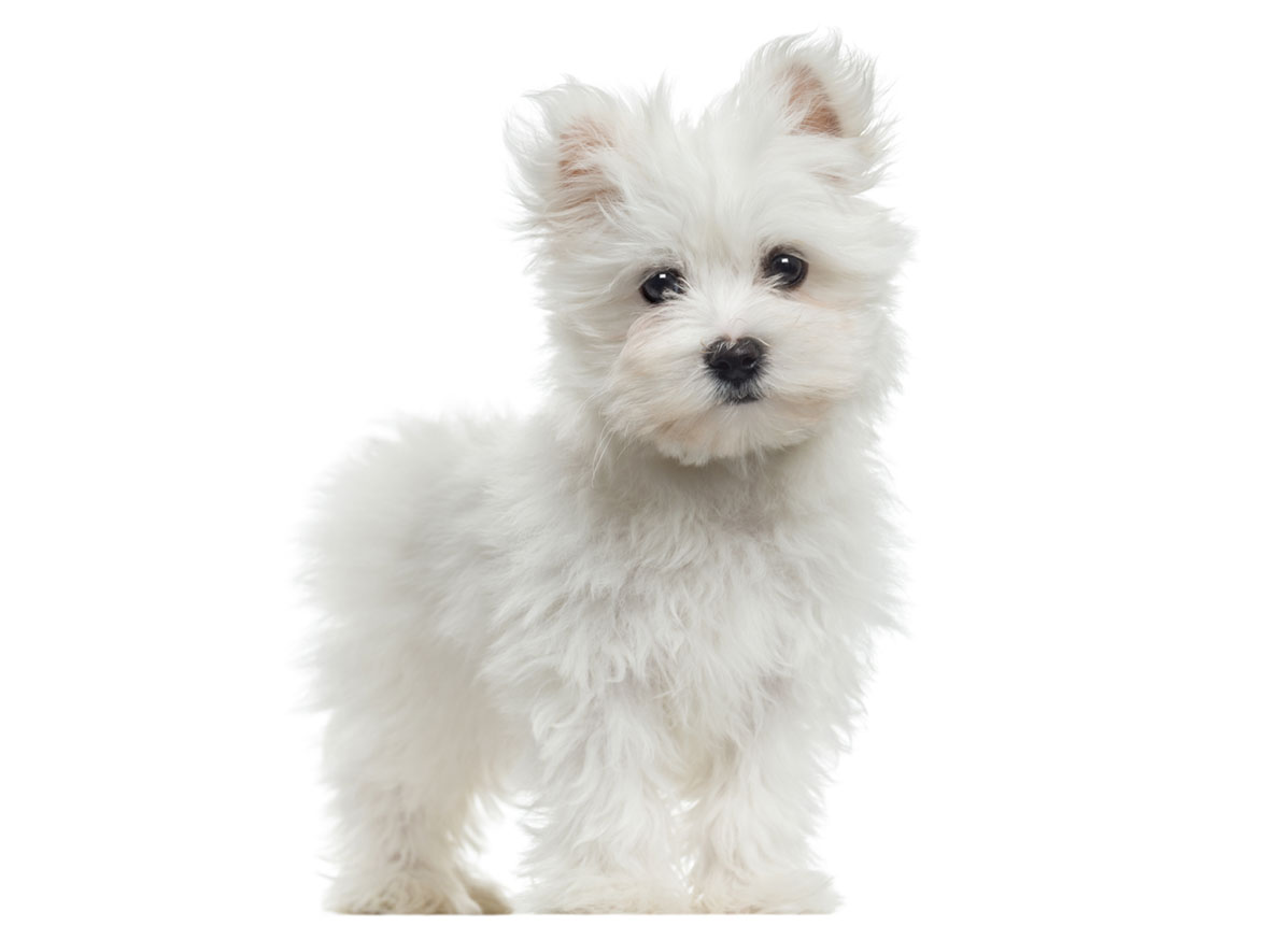 Maltese puppies for sale by Uptown Puppies