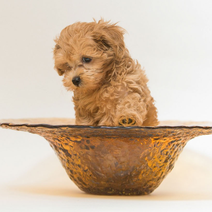 Maltipoo puppies in (state)