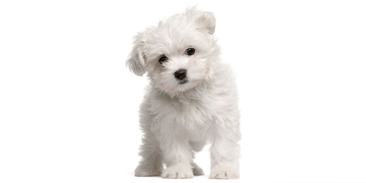 Maltipoo puppies for sales