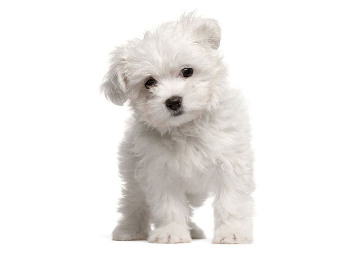 1 Maltipoo Puppies For Sale By Uptown Puppies