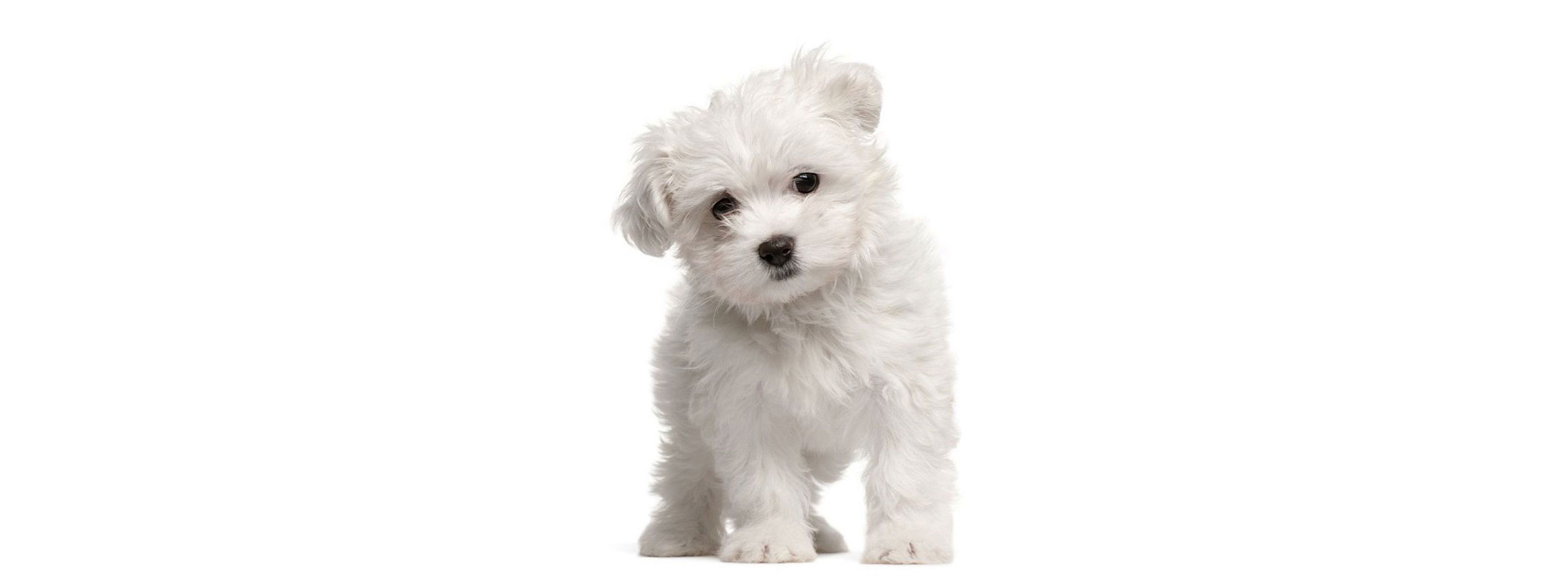 Maltipoo puppy finder