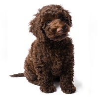 Puppies For Sale Near Me Uptown Puppies Finder Breeders
