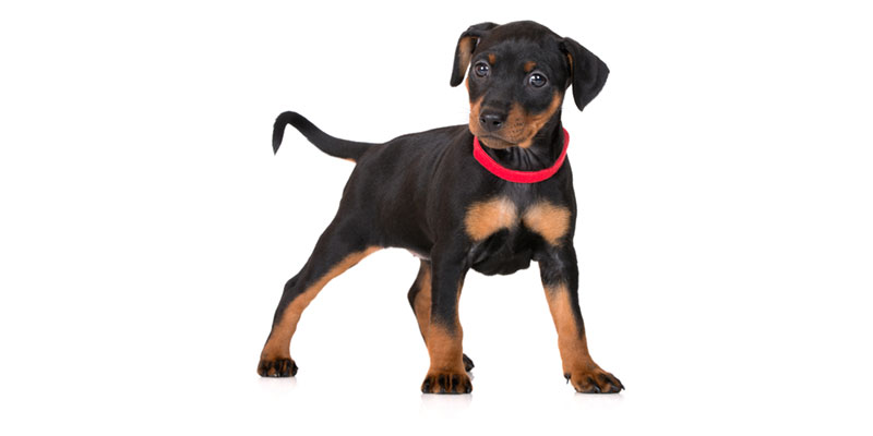 Utah Miniature Pinscher puppies for sale