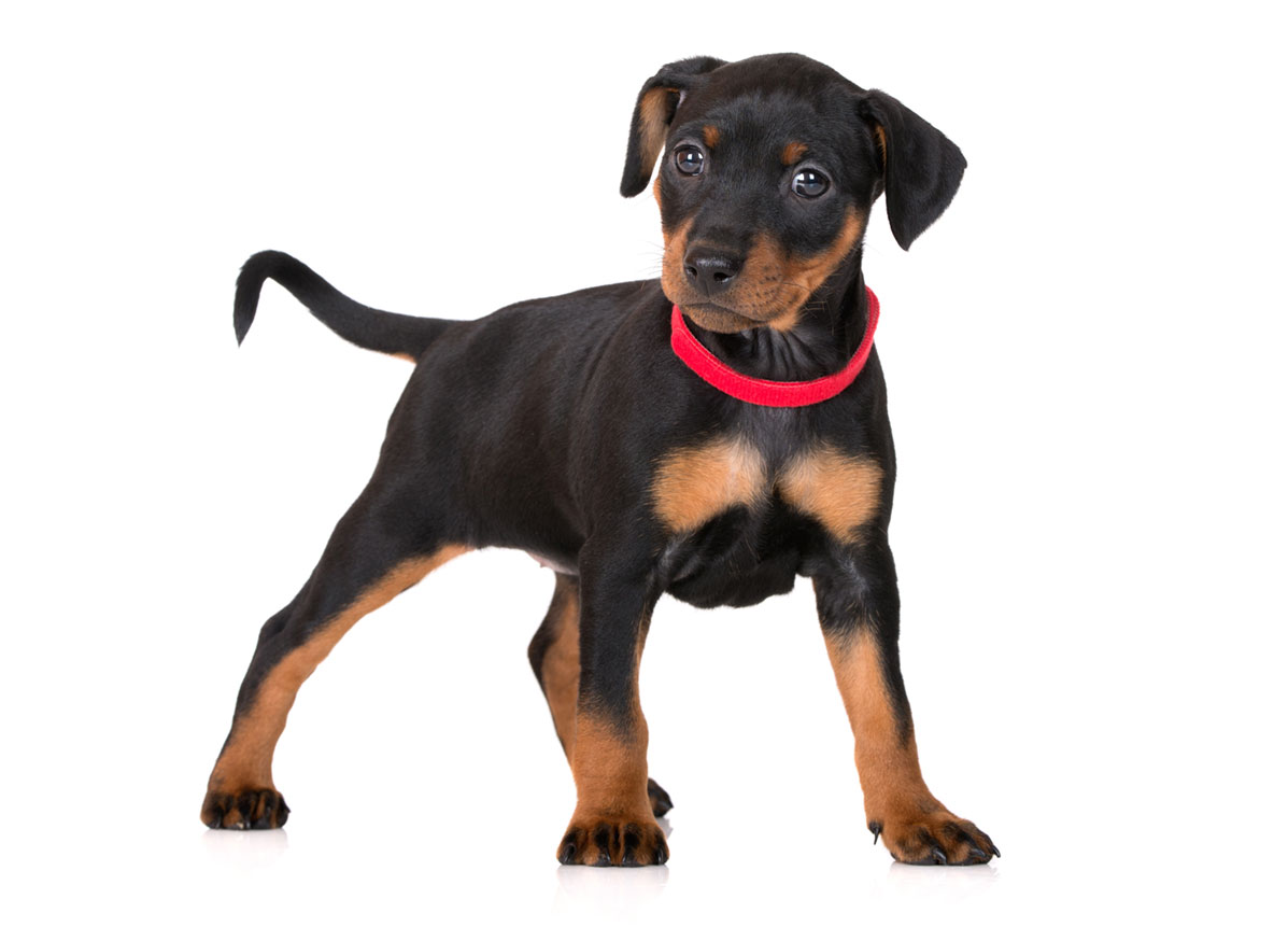 Miniature Pinscher puppy finder