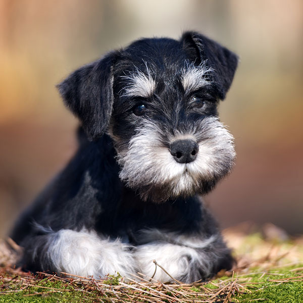 Uptown Puppies Miniature Schnauzer Breeder