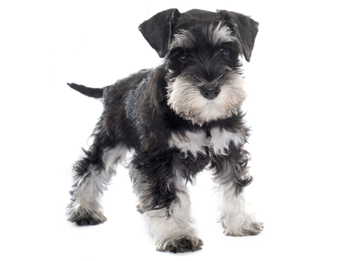 Miniature Schnauzer Puppies for Sale by in Houston TX by Uptown Puppies