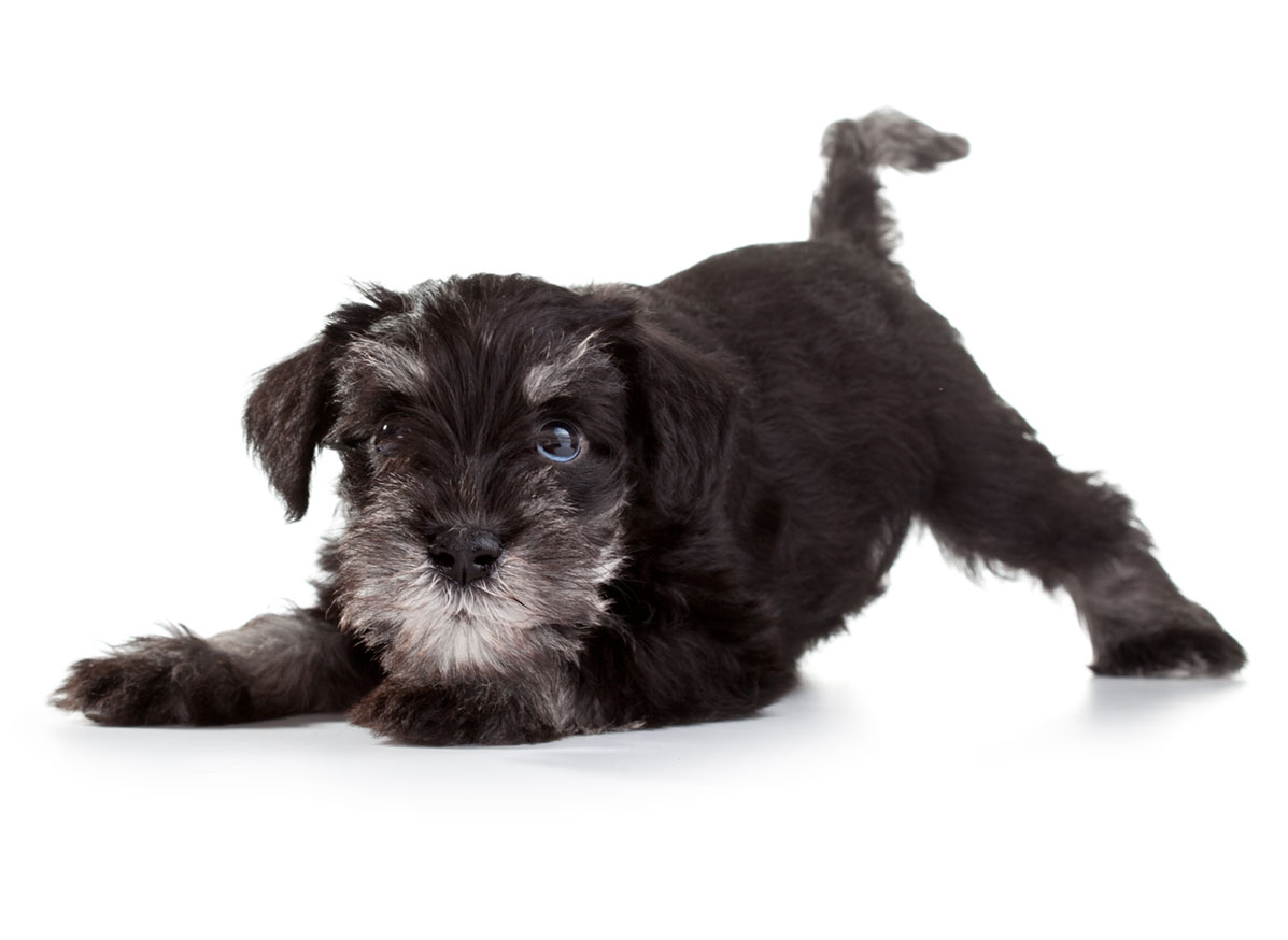 Miniature Schnauzer puppies for sale by Uptown Puppies