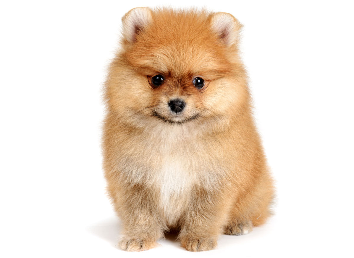 Pomeranian puppy finder