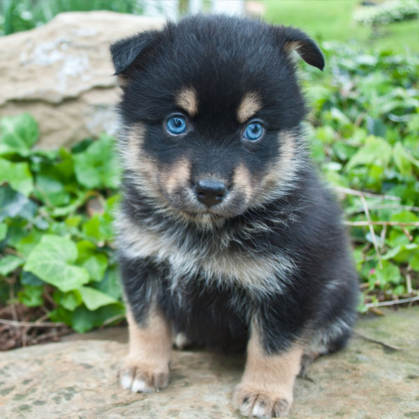 Uptown Puppies Pomsky Breeder