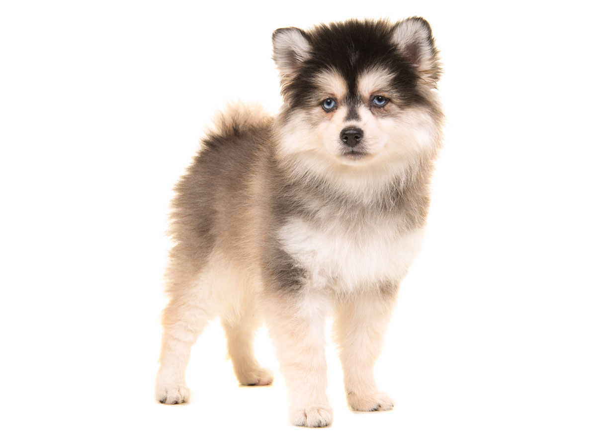 Pomsky Puppies for Sale in Columbus OH by Uptown Puppies