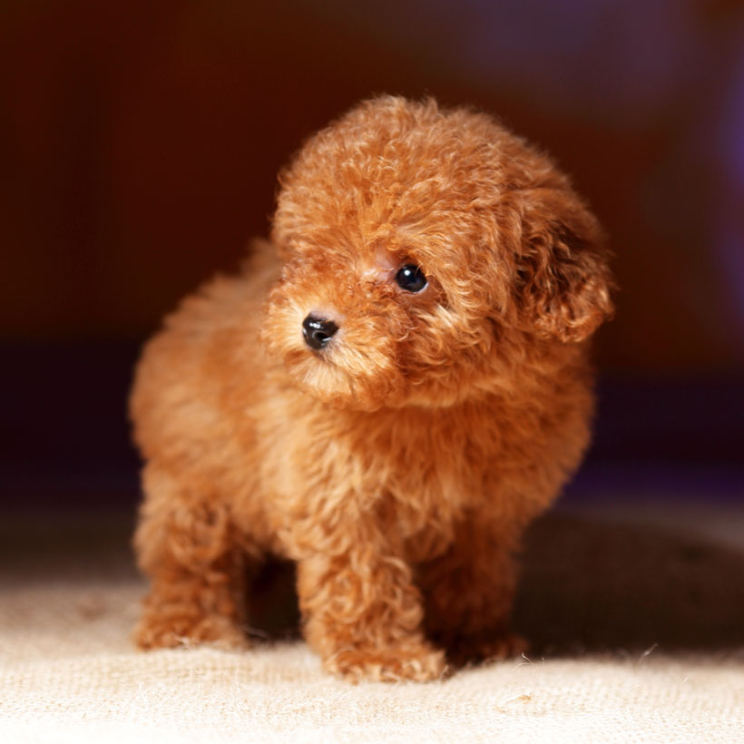best Poodle breeders in Florida