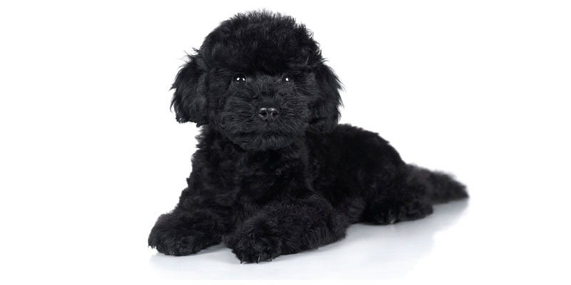 Poodle puppies for sales
