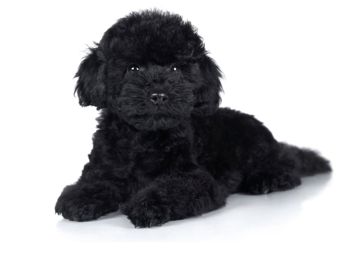 Poodle Puppies for Sale in Kansas by Uptown Puppies