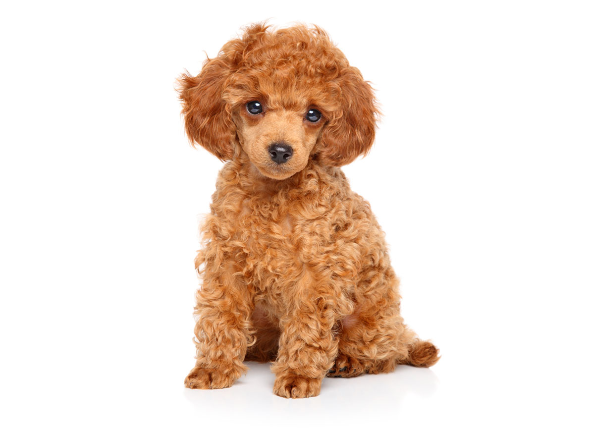 1 Rated Poodle Puppies For Sale In Austin Tx Uptown