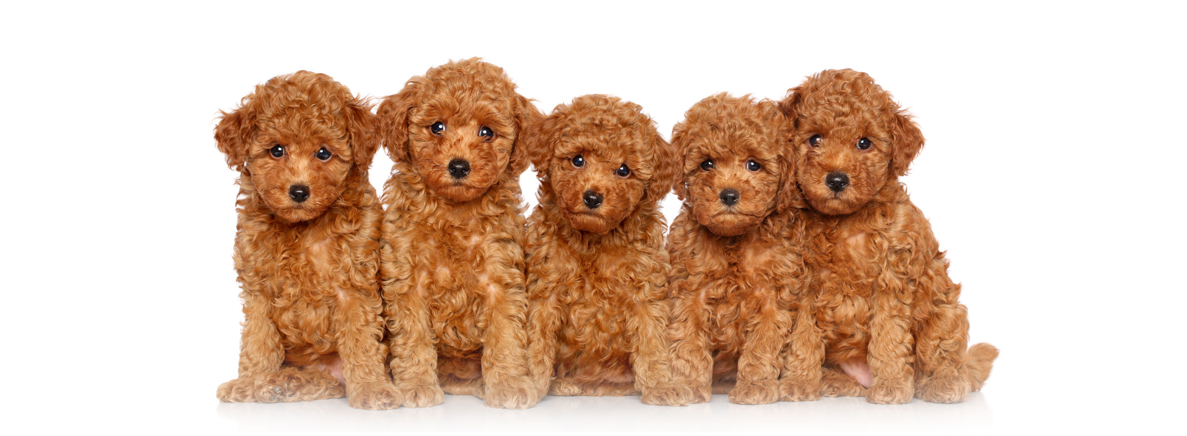Poodle puppy finder