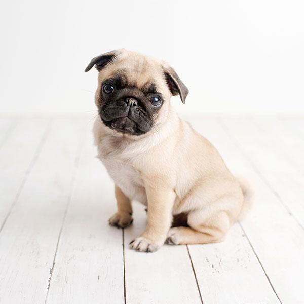 Uptown Puppies Pug Breeder