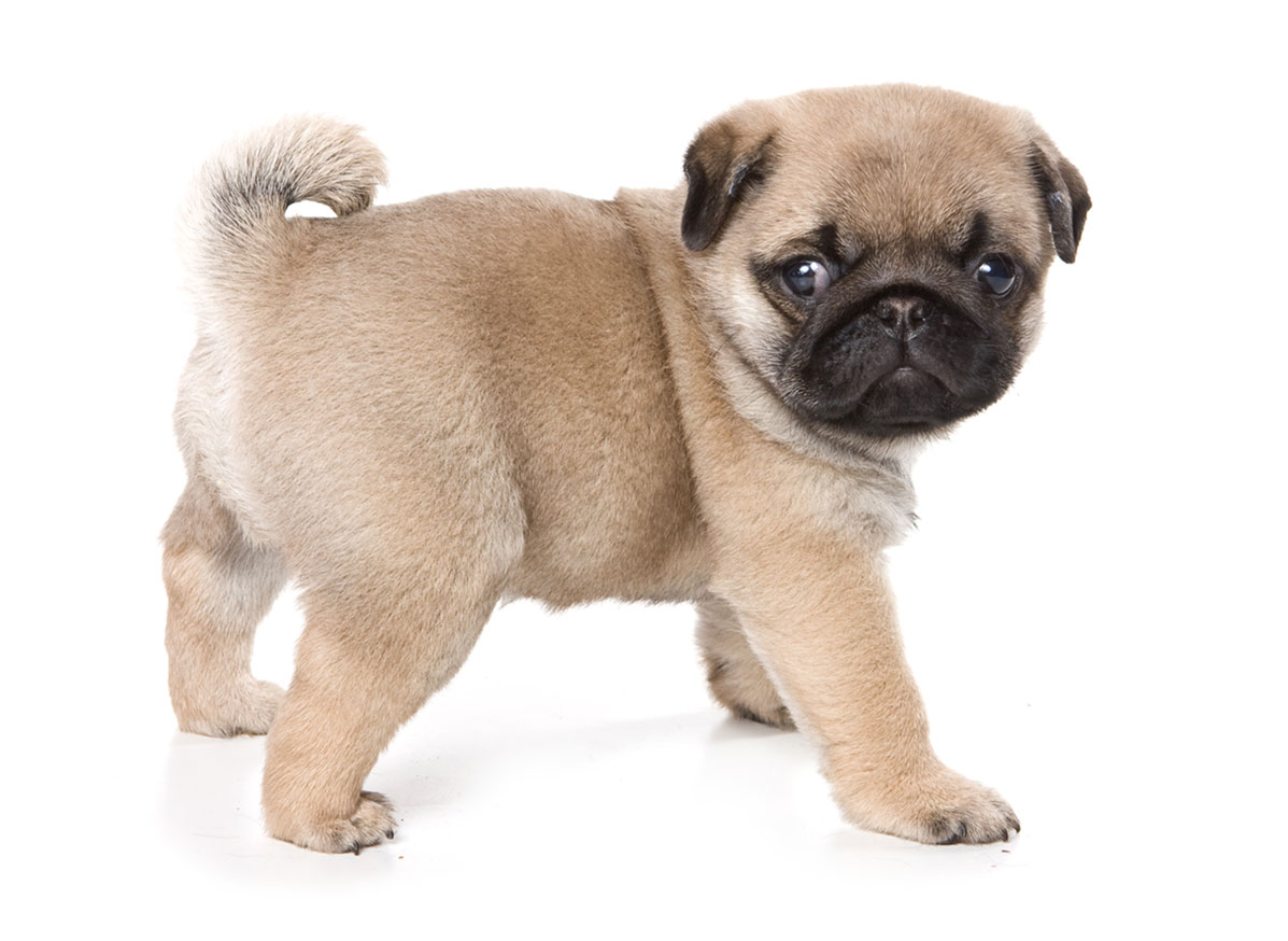Pug Puppies for Sale by Uptown Puppies