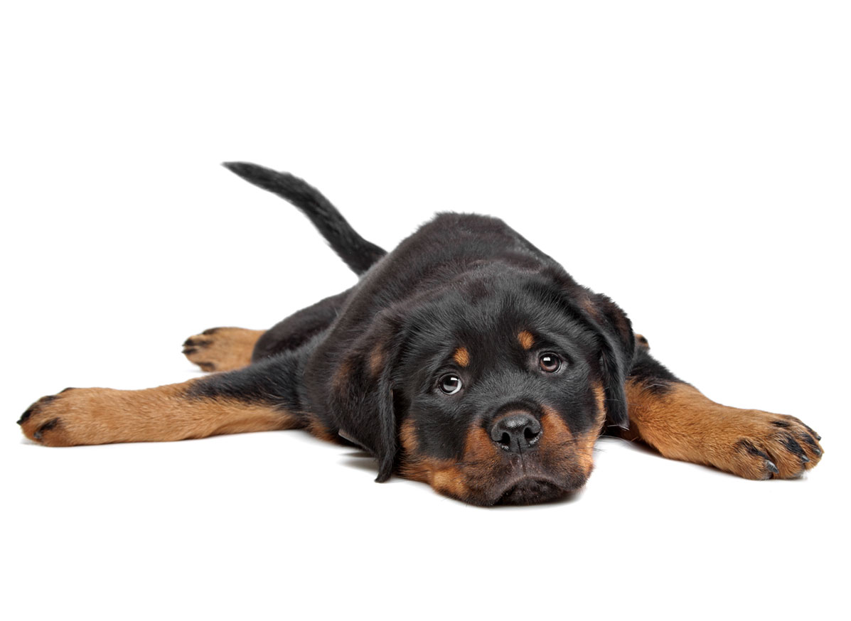 Rottweiler puppy finder