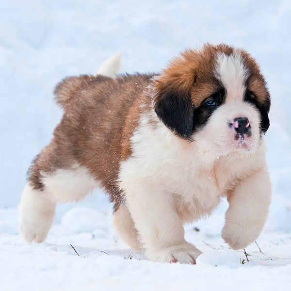 Saint Bernard puppies for sale