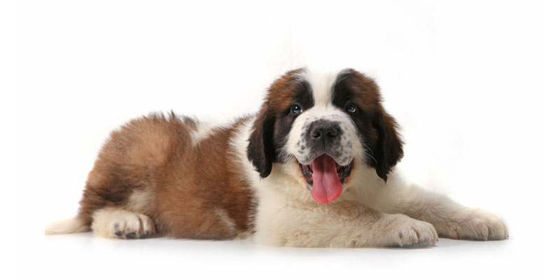 Utah Saint Bernard puppies for sale