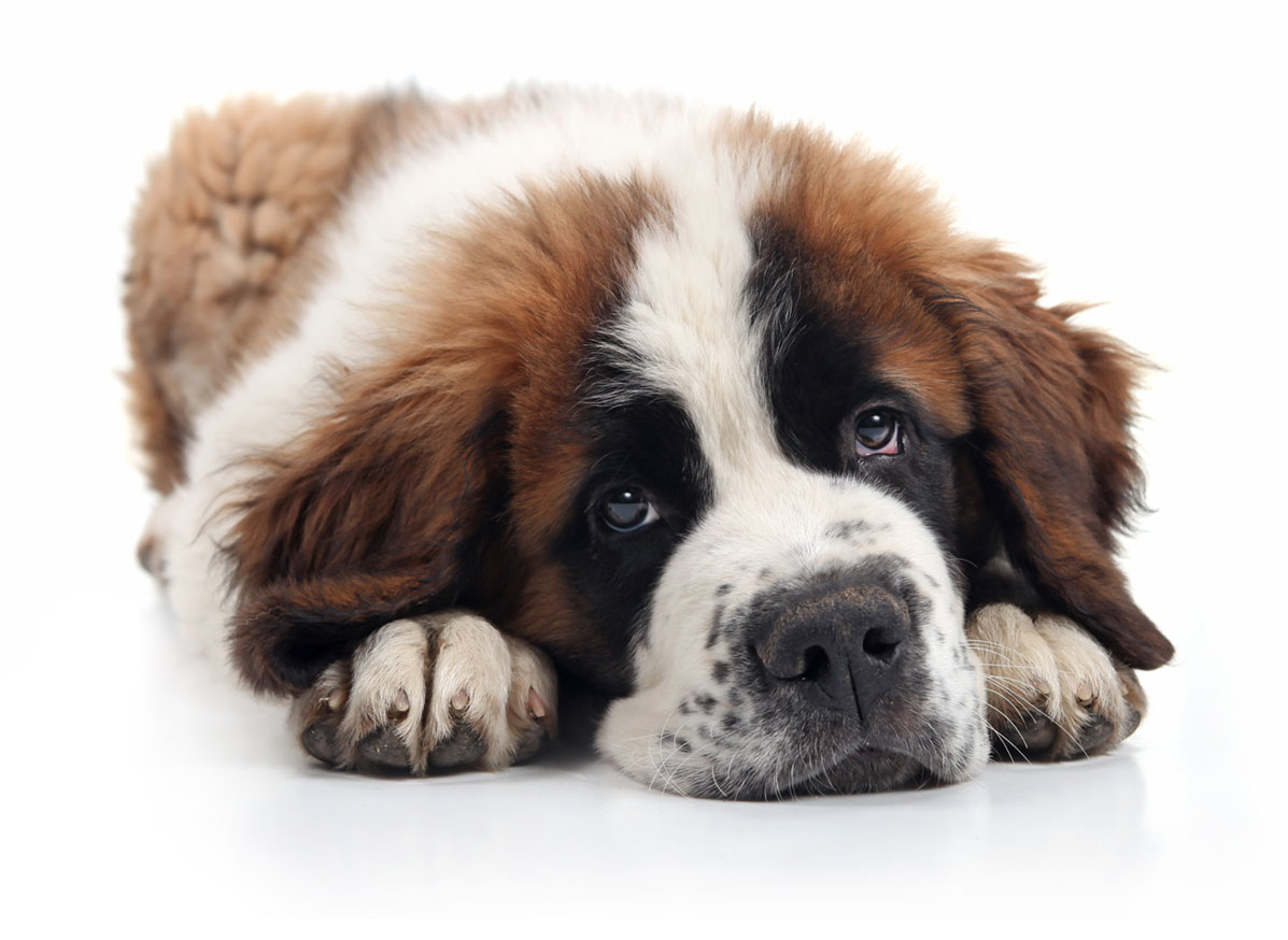 Saint Bernard puppy finder