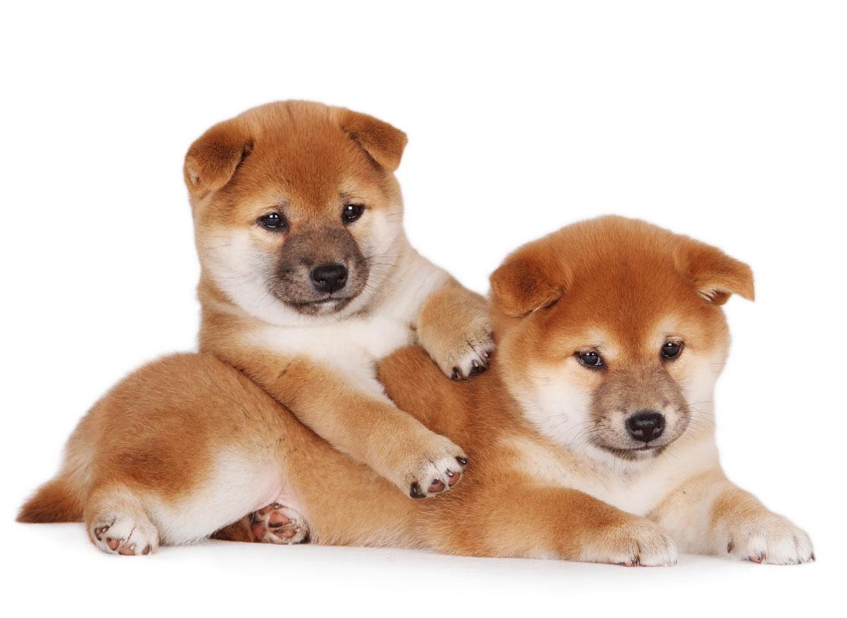 Shiba Inu puppy finder