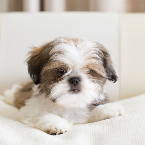 Uptown Puppies Shih Tzu Breeder