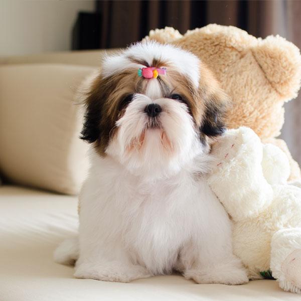 Uptown Puppies Shih Tzu Breeder