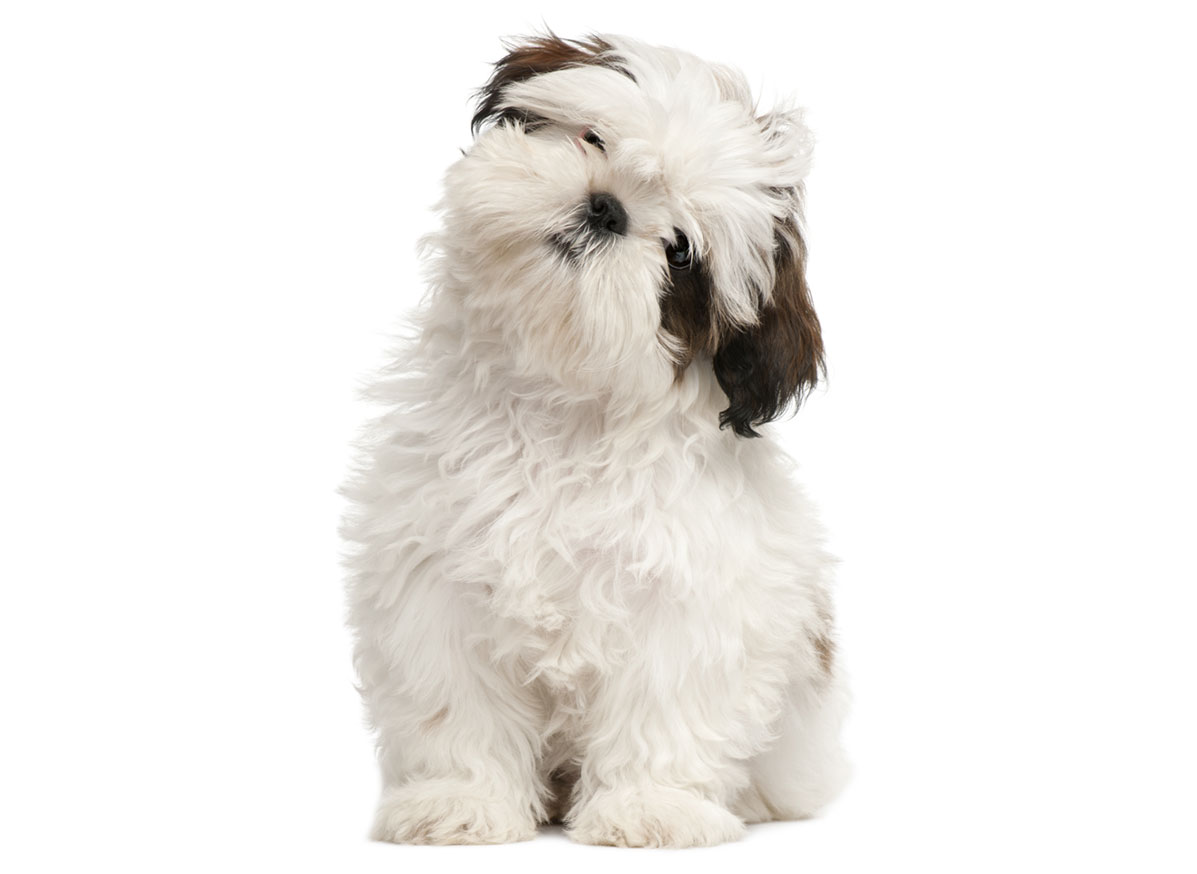 Shih Tzu puppy finder