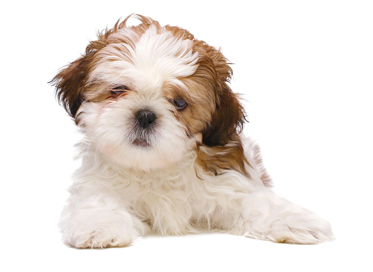 Shih Tzu puppies for sale by Uptown Puppies