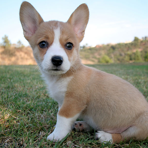 Uptown Puppies Welsh Corgi Breeder