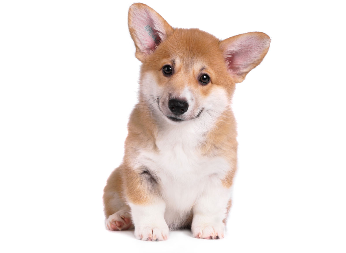 Welsh Corgi Puppies for Sale by Uptown Puppies