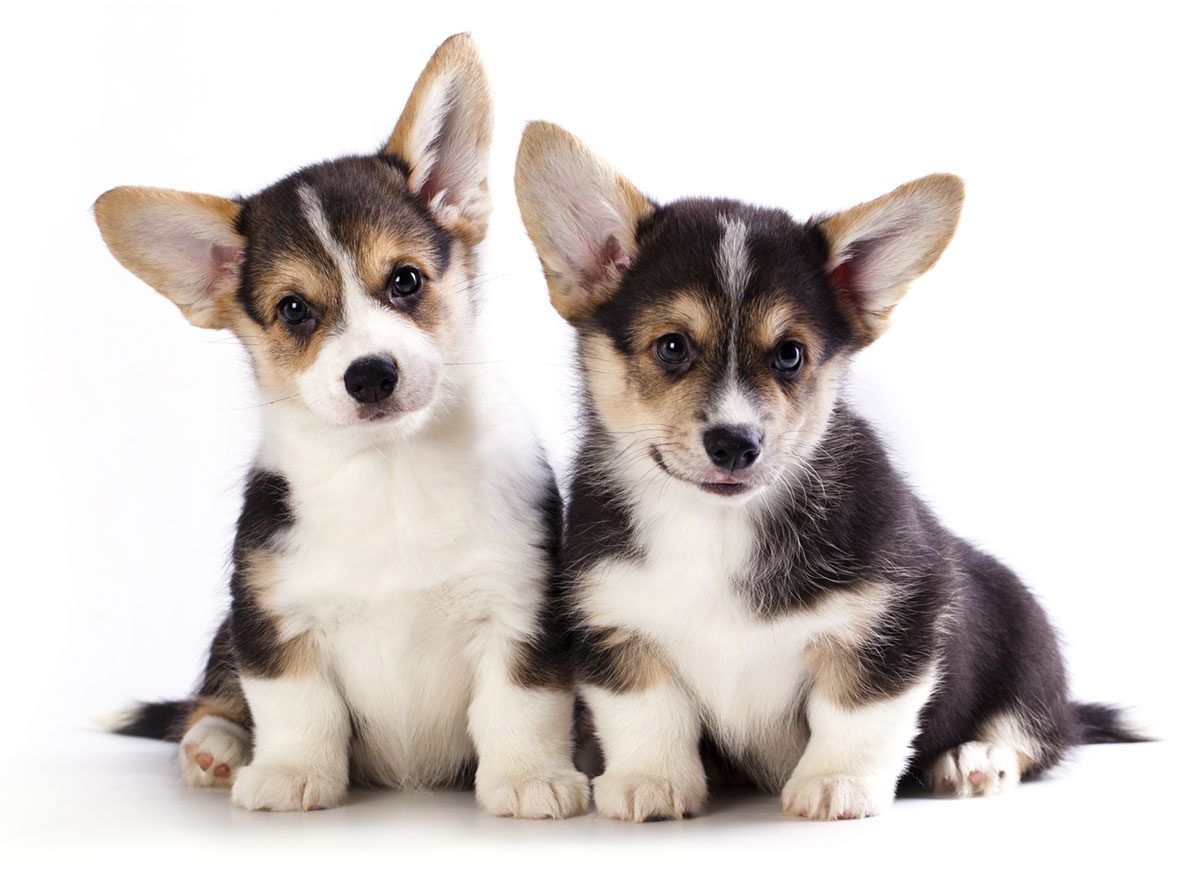 Welsh Corgi puppy finder