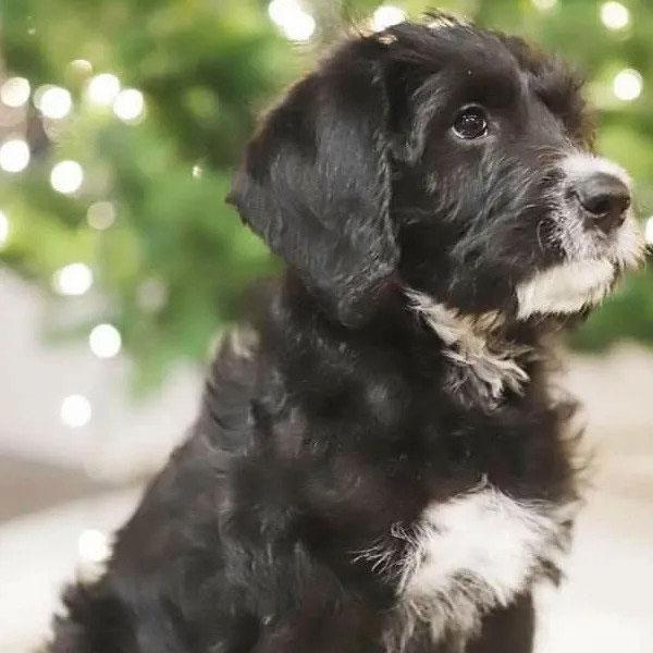 Uptown Puppy Labradoodle