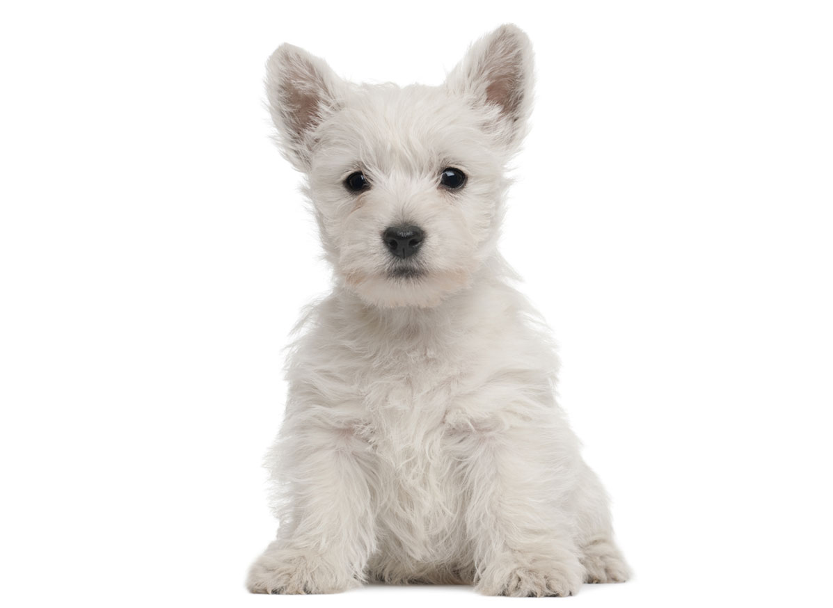 1 West Highland White Terrier Puppies For Sale By Uptown Puppies