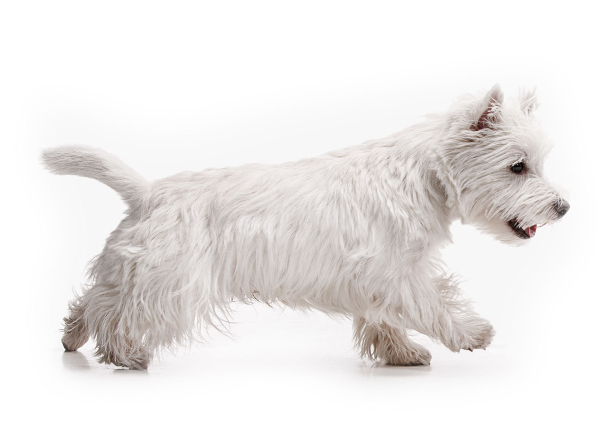 West Highland White Terrier puppies for sale by Uptown