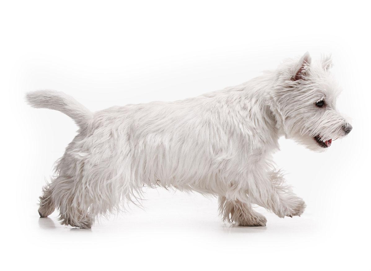 West Highland White Terrier puppy finder