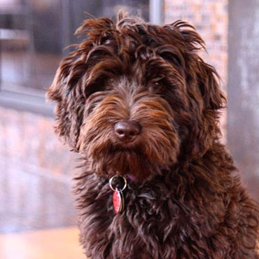 labradoodle breeders in Kansas