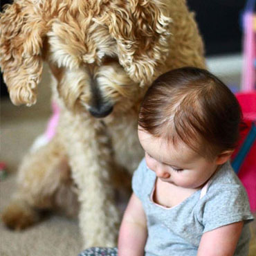 goldendoodle puppies Illinois