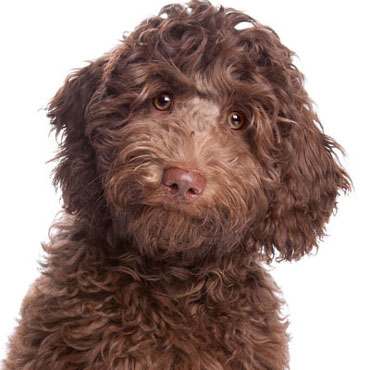 labradoodle puppies are super smart