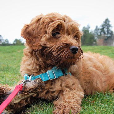 best labradoodle genetics in Massachusetts
