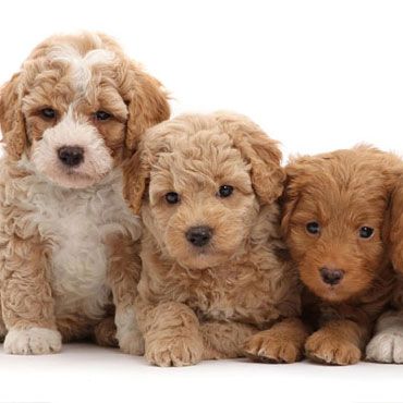 labradoodle puppies size and color