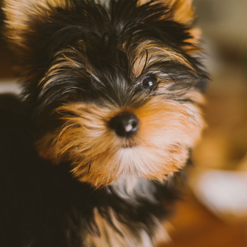 Yorkshire Terrier puppies in Northern California