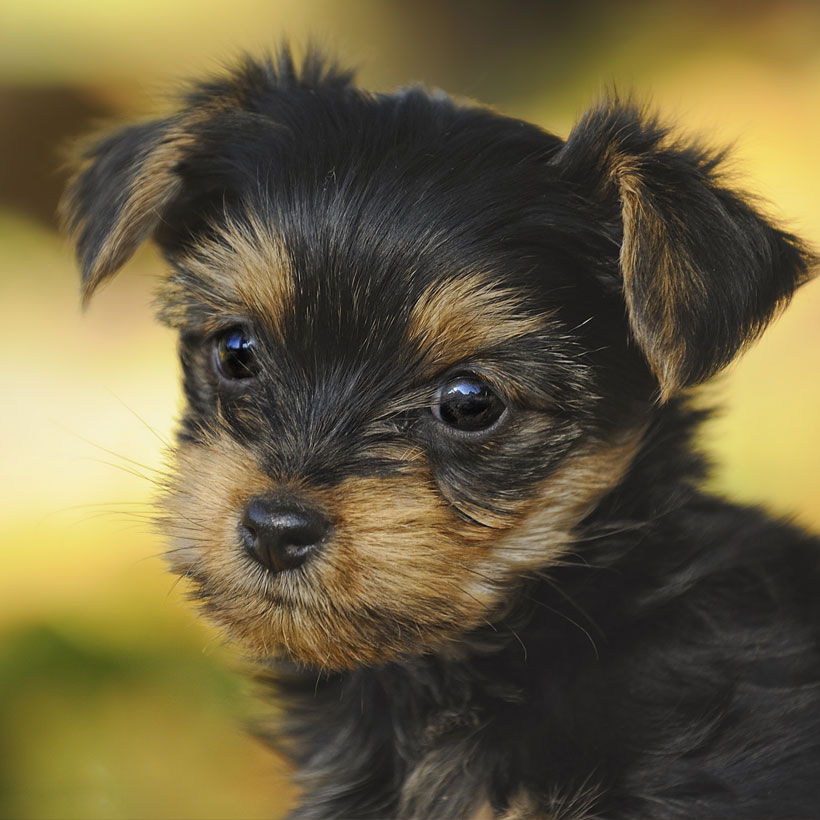 best Yorkshire Terrier breeders in Northern California