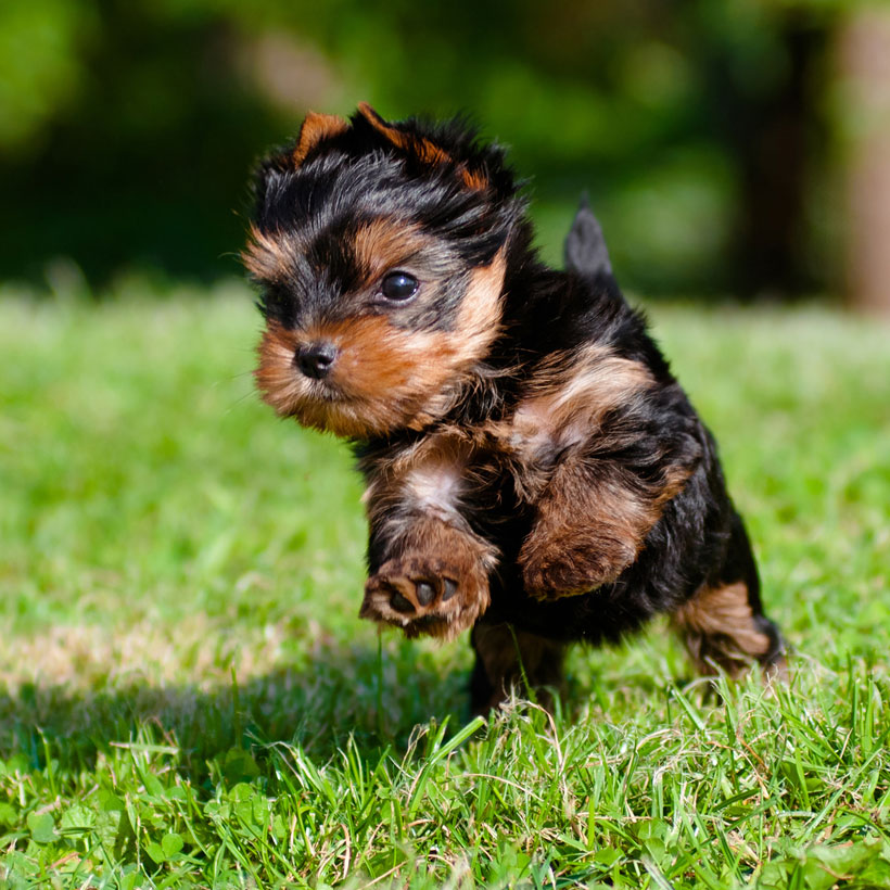 Northern California Yorkshire Terriers
